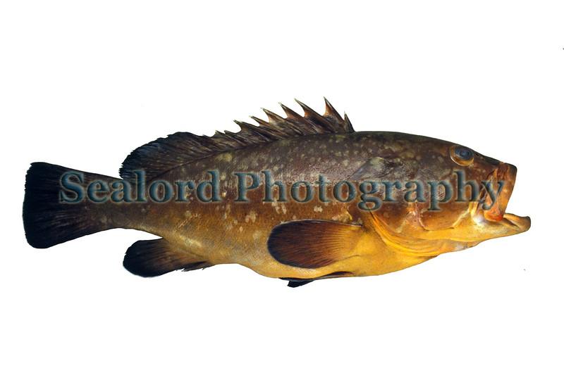 Dusky grouper - Epinephelus guaza