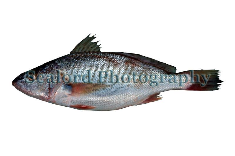 Atlantic croaker Micropogonias undulatus 0790 ©RLLord 27 smg