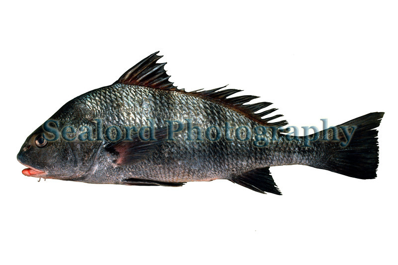 A black drum, Pogonias cromis, delivered to the Fulton Fish Mark in April 1991.<br /> File no. 0491 28<br /> ©RLLord<br /> fishinfo@guernsey.net