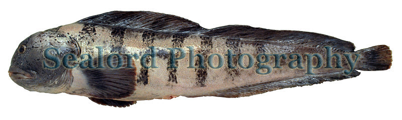 An Atlantic wolffish, Anarhichas lupus, delivered to Fulton Fish Market.<br /> Photographed in June 1991.<br /> File No. 0691 3<br /> ©RLLord<br /> fishinfo@guernsey.net