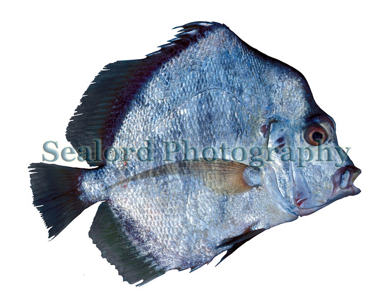 This African sicklefish, Drepane africana, in the family drepanidae, was imported from Senegal into Fulton Fish Market, New York in September 1990.<br /> File No. 0990 15<br /> ©RLLord<br /> fishinfo@guernsey.net