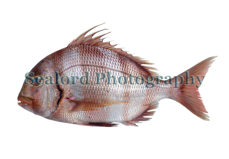 This redbanded seabream, Sparus auriga, was imported from Senegal into Fulton Fish Market, New York in February 1989.  The European sea breams are called porgies in the USA.  They belong to the family sparidae.  The most common USA porgy in the western Atlantic is the scup. Porgies or seabreams become more diverse towards the equator but each species is less abundant than the porgy or seabream species from the higher latitudes.<br /> File No. 5 0289 <br /> ©RLLord<br /> fishinfo@guernsey.net
