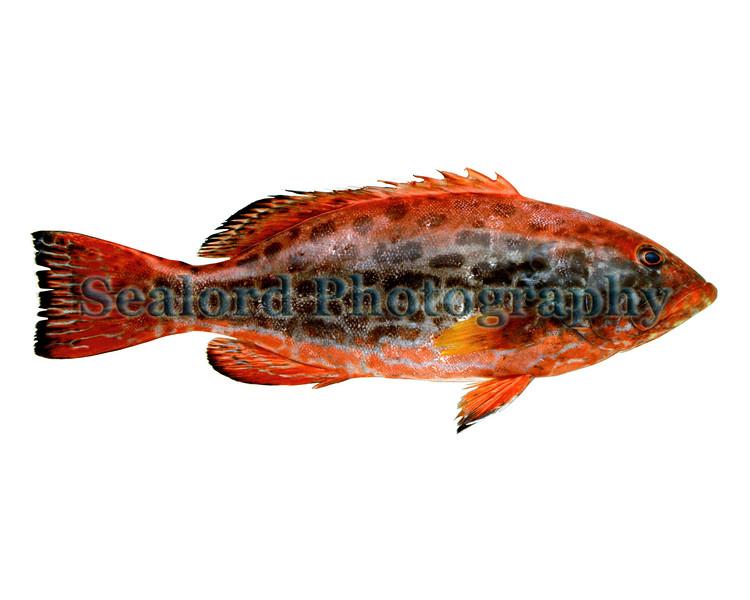Yellowfin grouper - Mycteroperca venenosa