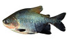 black-finned pacu or Tambaqui - Colossoma macroponum
