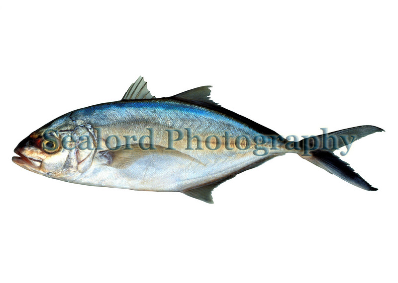 A bar jack, Caranx ruber, delivered to Fulton Fish Market, New York in November 1990.<br /> File No. 1190<br /> ©RLLord<br /> fishinfo@guernsey.net