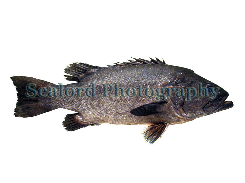 Wreckfish - Polyprion americanus