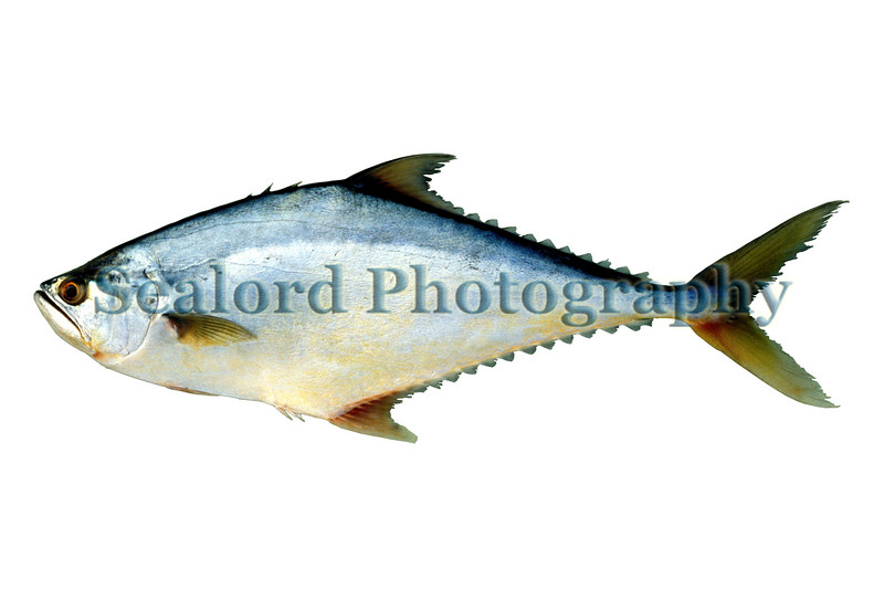 A castin leatherjack, Oligoplites saliens, imported from Venezuela in October 1990 and on sale at the Fulton Fish Market in New York City.<br /> File No. 1090 <br /> ©RLLord<br /> fishinfo@guernsey.net