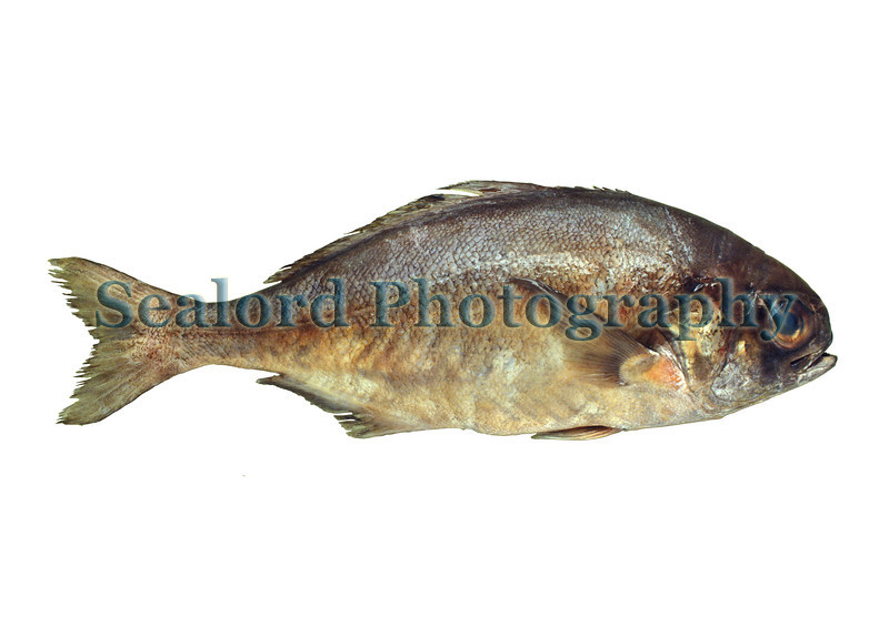 This barrelfish, Hyperoglyphe perciformis, was landed in Louisiana and shipped to Fulton Fish Market in New York City in July 1991.<br /> File No.  9 0791<br /> ©RLLord<br /> fishinfo@guernsey.net