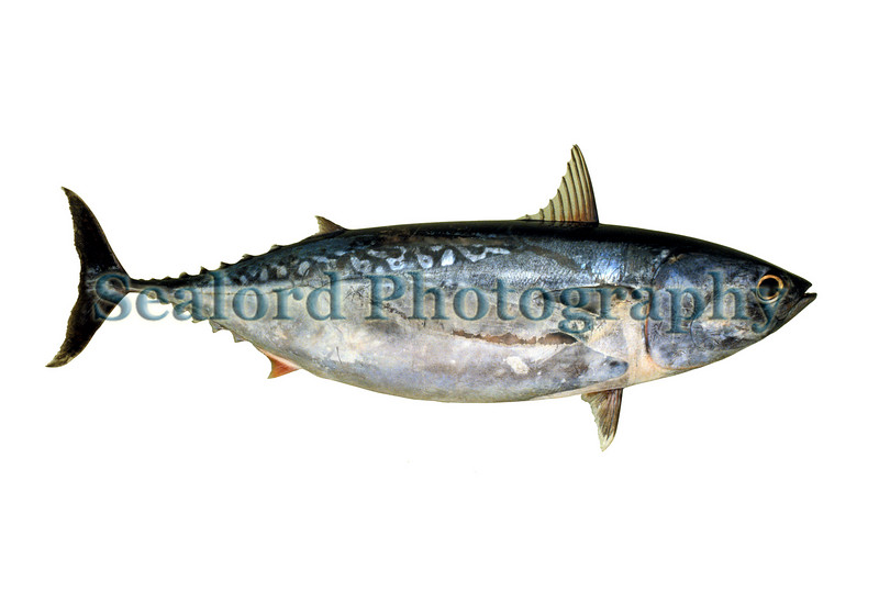 bullet mackerel, Auxis rochei, infrequently arrived at Fulton Fish Market in New York City.  This fish was an individual in a box of bullet mackerel from Barnegat Light, New Jersey, which arrived in Fulton Fish Market on the 5th August 1991<br /> File No. 050891 22<br /> ©RLLord<br /> fishinfo@guernsey.net
