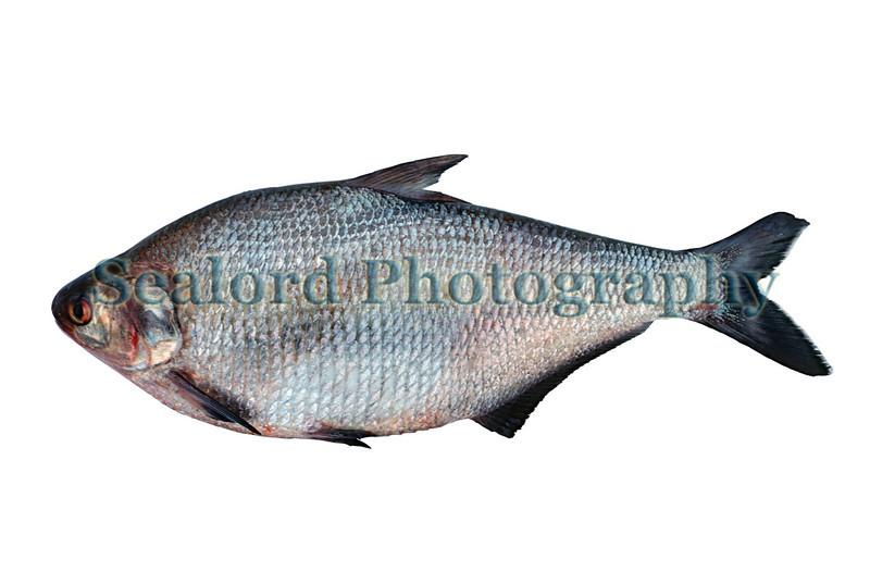 Gizzard shad - Dorosoma cepedianum