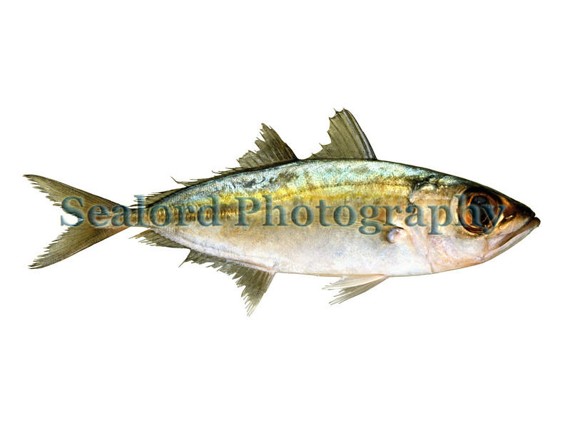 A bigeye scad, Selar crumenophthalmus, shipped from Florida to Fulton Fish Market in New York city and sold on the 28th May 1992.<br /> File No.  280592<br /> ©RLLord<br /> fishinfo@guernsey.net