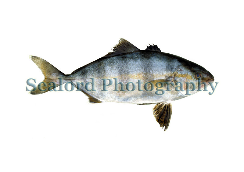 Banded rudderfish - Seriola zonata