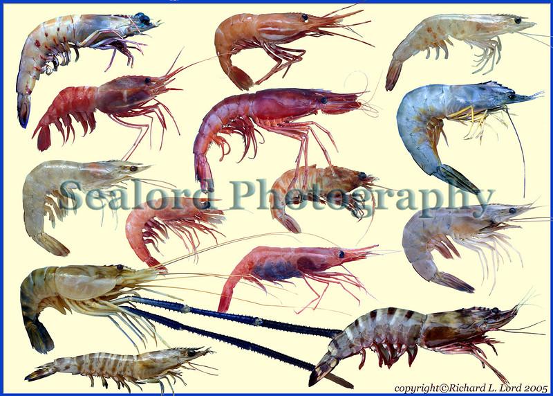 Some commercial shrimp or prawn species