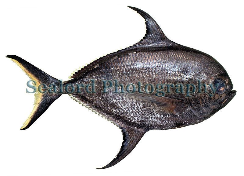 Bigscale pomfret - Taractichthys longipinnis