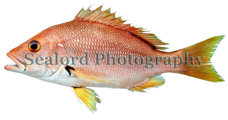 Blackfin snapper - Lutjanus buccanella