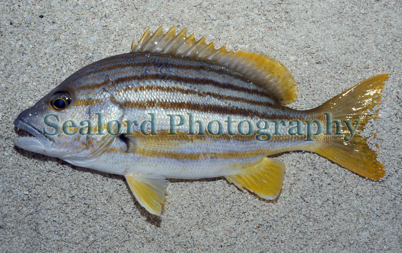 This snapper which is called a 'stripey' (Lutjanus carponotatus) in Australia was caught at night on a rod and line by Heron Island marine station researchers.  Heron Island, which is a coral key, is about 50 miles to the east of Gladstone, Queensland, Australia and is at the southern end of the Great Barrier Reef.  The fish was photographed on the beach and then returned to the sea.<br /> File No. 32 1287<br /> ©RLLord<br /> fishinfo@guernsey.net