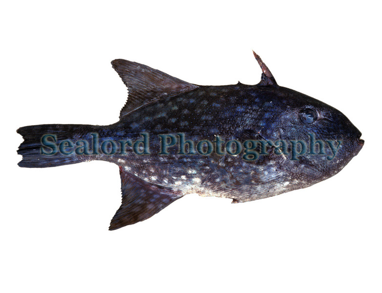 This rough triggerfish, Canthidermis maculatus, was photographed at the Phuket fish market in  Thailand in December 1990.  This triggerfish is found worldwide in tropical seas.  The flying fish fishermen of Barbados who call it 'turbot' also catch it.  It is also common around Bermuda where it is called ocean turbot.  The fillets are broad.  They superficially resemble the fillets of the turbot of Europe and the quality of the meat is excellent.<br /> File No. 1290 31<br /> ©RLLord<br /> fishinfo@guernsey.net