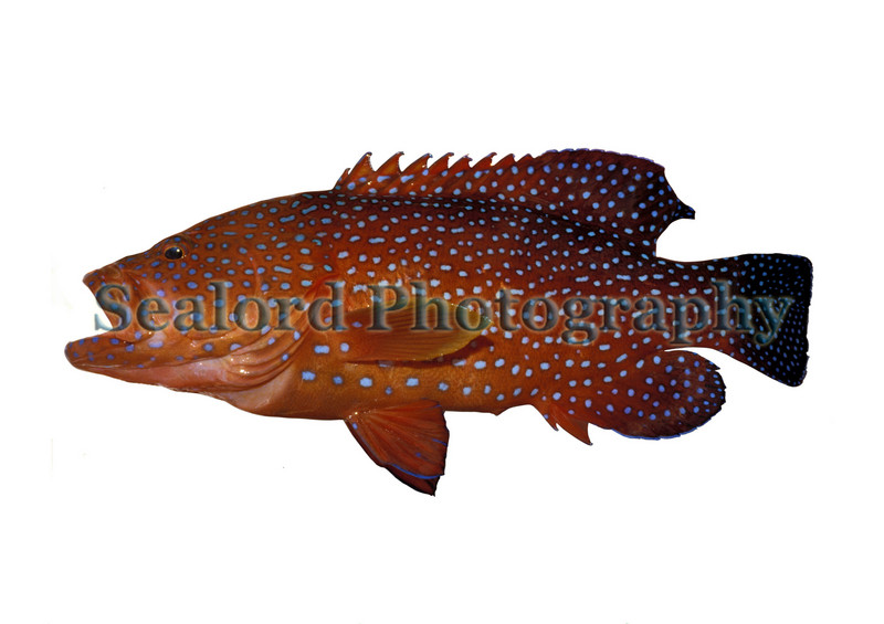 A beautiful recreationally caught coral cod , Cephalopholis miniatus, from Wisteria Reef near Heron Island on the Great Barrier Reef, Queensland,  Australia in December 1987.<br /> ©RLLord<br /> fishinfo@guernsey.net