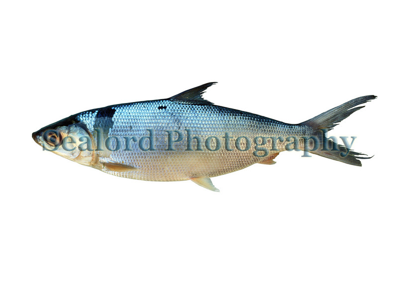 This milkfish, Chanos chanos, was imported into the USA from Thailand.  It was on display at the Seafare trade show in Long Beach, California in February 1990.  Milkfish is an important farmed or aquacultured species in south-east Asia.<br /> File No. 0290 20<br /> ©RLLord<br /> fishinfo@guernsey.net
