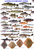 Guernsey fish poster formatted for A3 size but posters can be made to order depending on fish species desired and size of poster required. fishinfo@guernsey.net ©RLLord All Rights Reserved