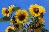 The Edible Bus Stop sunflowers 220812 ©RLLord 2026 smg