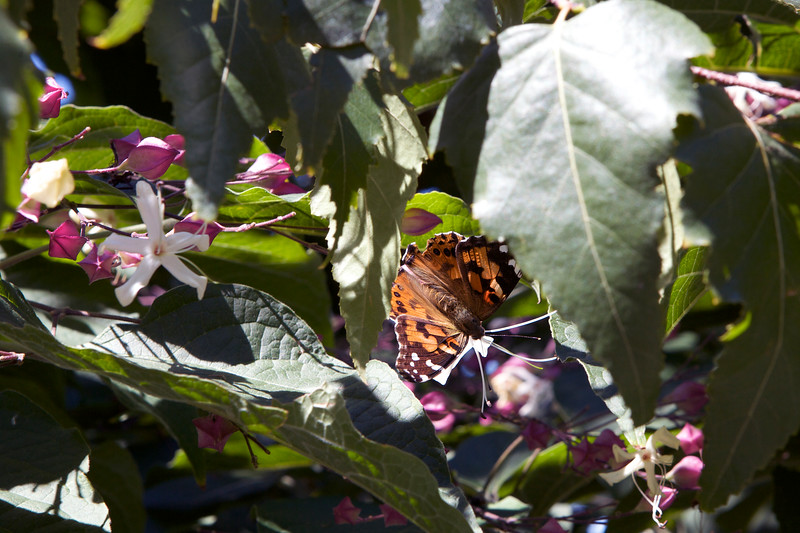 A painted lady butterfly, Vanessa cardui, attracted to plants on the High Line Walkway in New York City on 29 August 2012