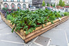 Chard growing in raised bed in Place de Jaude in Clermont Ferrand, France
