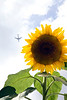 The Edible Bus Stop sunflower airplane 220812 ©RLLord 2066 smg
