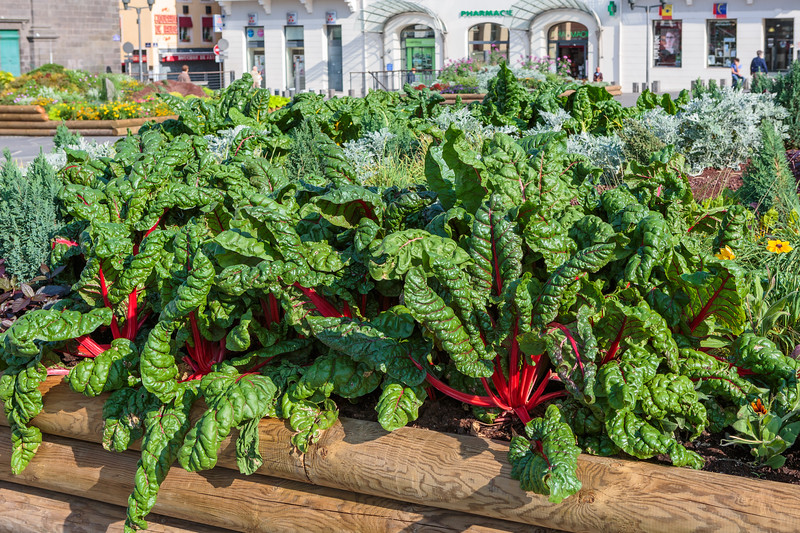 Chard growing in a raised bed in Place de Jaude in Clermont Ferrand, France