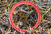 Red plastic ring washed up at Petit Port on Guernsey's south coast on 18th October 2019