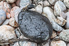 Lump of sticky tar on the shore at Petit Port on Guernsey's south coast on 26th February 2020