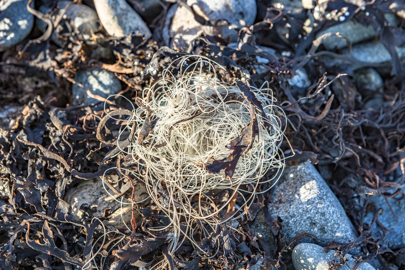 Nylon fishing line in a dried seaweed strand line on the Belle Greve Bay shore on Guernsey's east coast