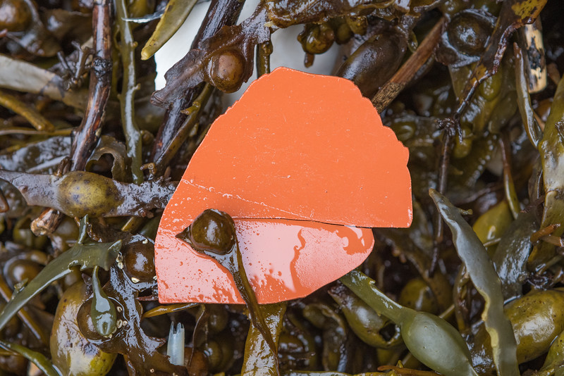Piece of broken flower pot in the seaweed strand line at Petit Port on Guernsey's south coast on the 28th January 2021