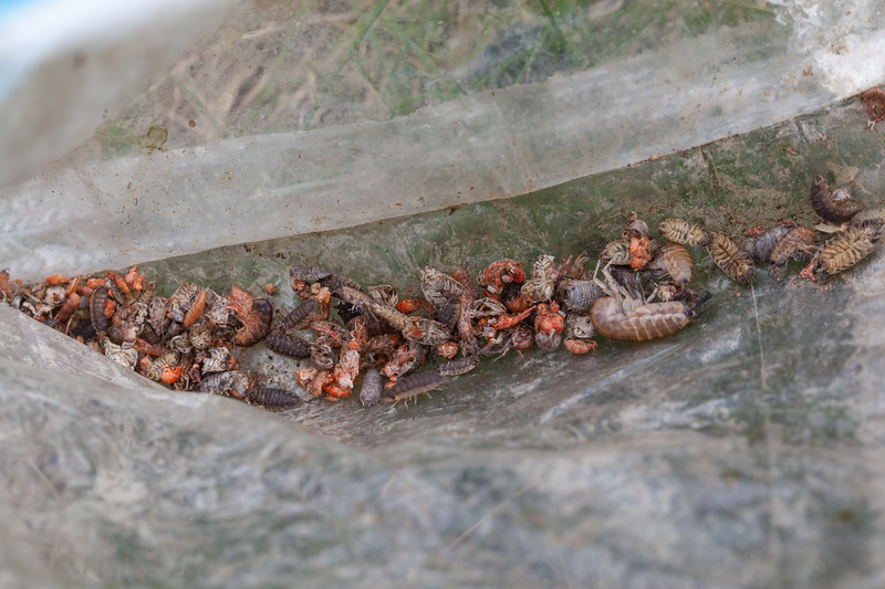 Crustaceans trapped and killed in a plastic bag on the sea shore