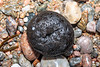 Oily tar ball on the Petit Port shore on Guernsey's south coast on 10th March 2020