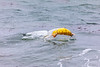 Partially deflated Helium balloon being blown onto the sea shore at Petit Port on Guernsey's south coast