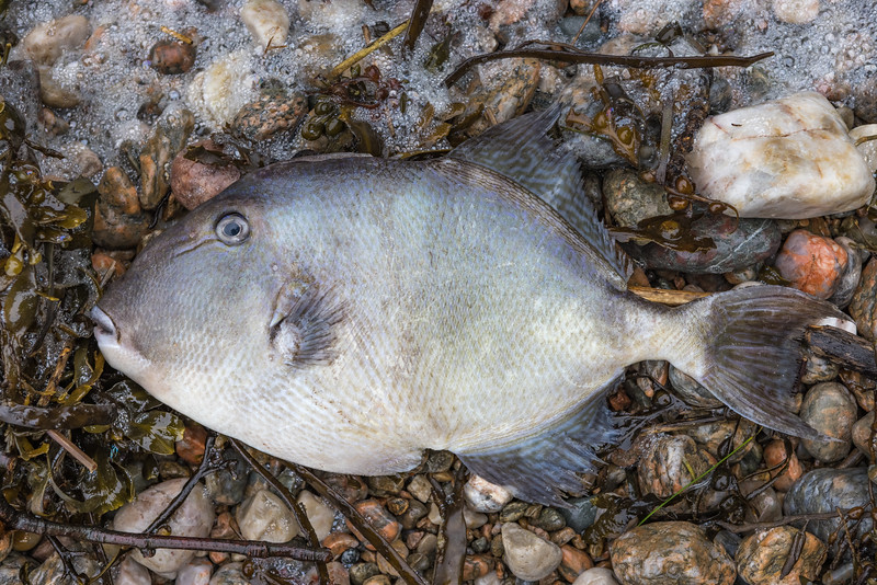 Grey triggerfish, Balistes Capriscus, washed up at Petit Port on Guernsey's south coast on 21st January 2021
