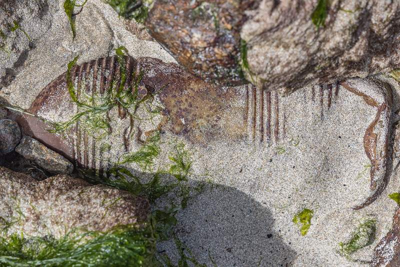 Plastic milk bottle buried in the sand of the lower shore of Petit Port on Guernsey's south coast on the 28th May 2021