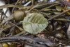 Plastic leaf on the seaweed strand line at Petit Port on Guernsey's south coast on the 28th January 2021