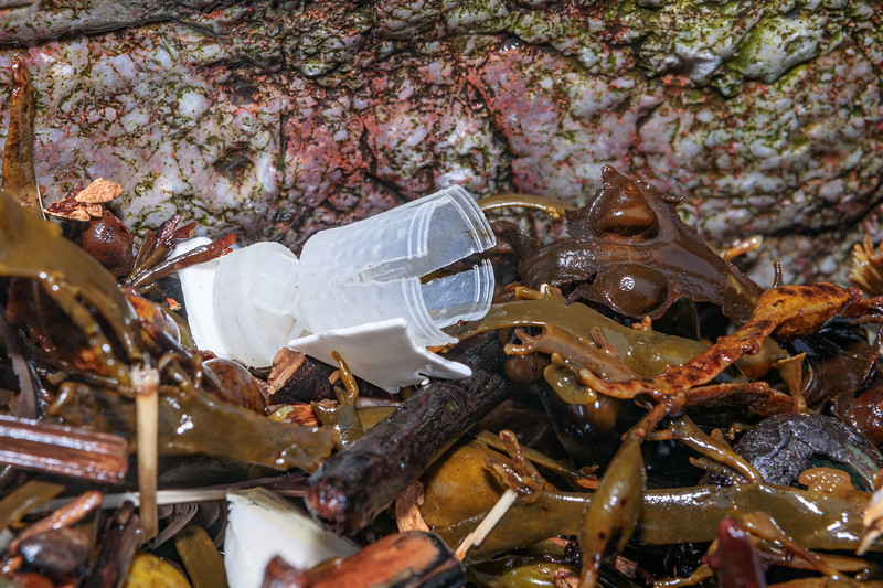 Plastic shotgun cartridge wad and piece of white plastic in seaweed strand line at Petit Port on 10th March 2020