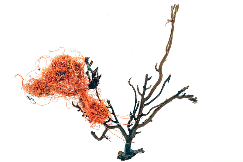 Pink sea fan skeleton, Eunicella verrucosa, with dolly rope attached, which washed up on the Guernsey sea shore