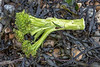 Broccoli on the seaweed strand line of Fermain Bay on Guernsey's east coast on  11th February 2021