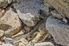 Fraying rope trapped in the western boulder field at Petit Port on Guernsey's south coast on the 21st May 2021