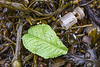 Plastic leaf and shotgun cartridge wad washed up at Petit Port on Guernsey's south coast on the 28th January 2021