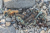 Rusty, metal framed shellfish pot embedded in east facing beach south of Fort Le Marchant on 22nd September 2021