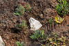 A piece of polystyrene embedded in the cliff about ten feet above the beach at Pleinmont on Guernsey's south west coast