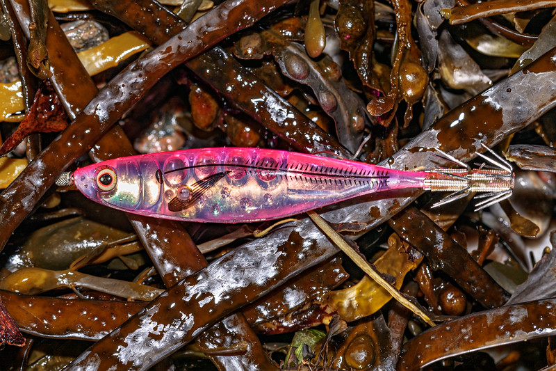 Recreational squid fishing lure collected from the seaweed strand line at Petit Port on 3rd November 2020