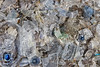 Pieces of shredded plastic bottles collected from the seaweed strand line at Pleinmont on the 16th July 2021