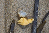 Buoy barnacle, Dosima fascicularis, attached to polyurethane foam piece washed up at Petit Port on the 26th May 2021