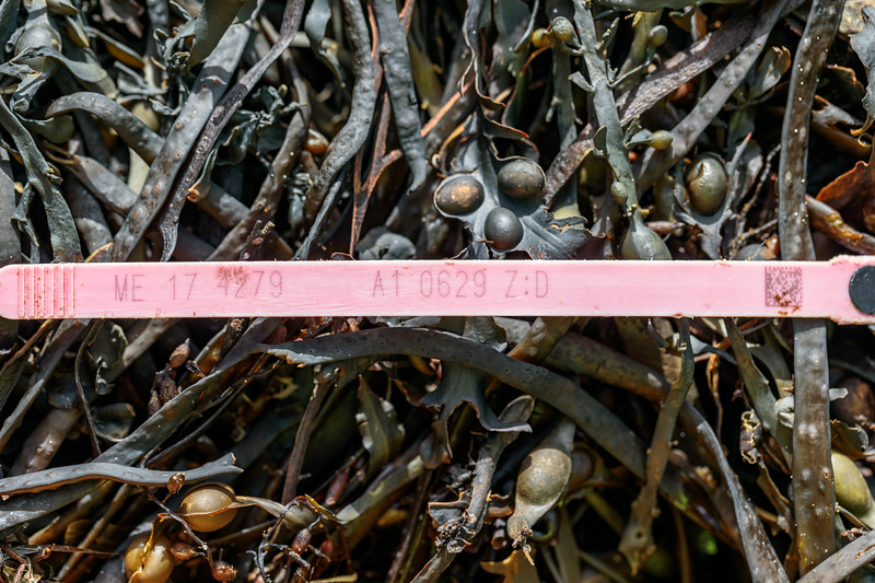 A 2017 Maine, USA lobster pot tag from Zone D washed up at Petit Port on Guernsey's south coast on 2nd November 2020